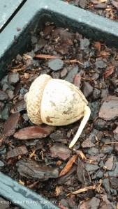 Germinating acorn