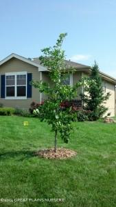 Planted oak