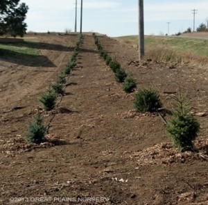 Windbreak Planting