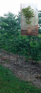 "Kentucky Coffeetree - 12"" GrowBag"