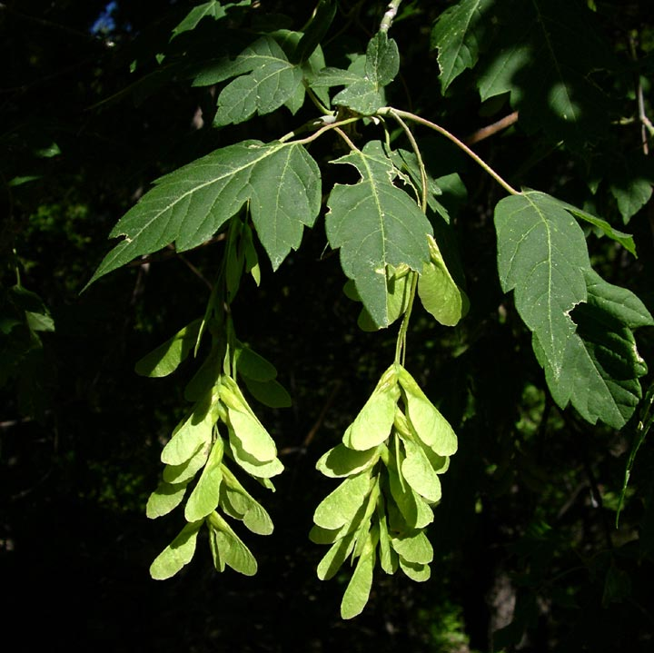 Acer negundo leaf and seed