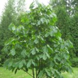 Asimina triloba tree