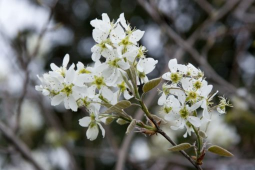 Autumn Brilliance Serviceberry flower