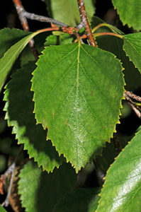 Betula occidentalis leaf