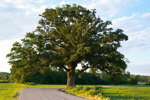 Bur Oak Quercus macrocarpa