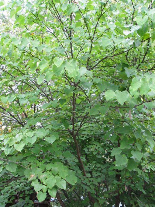 Cersis canadensis