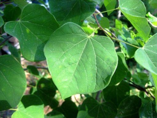 Cersis canadensis leaf