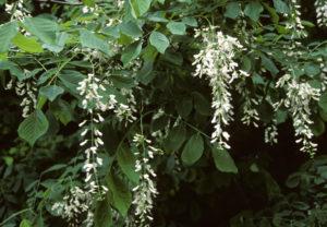 Cladastris kentukea flower