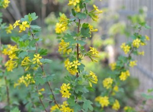 Clove scented Currant