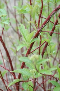 Compact Red Osier Dogwood