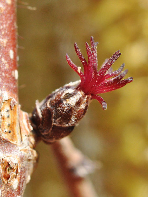 Corylus americana flower