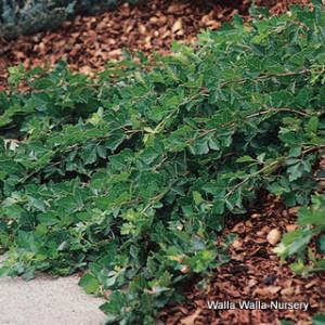 Creeping three leaf sumac