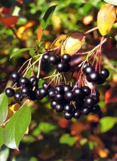 Glossy Black Chokeberry