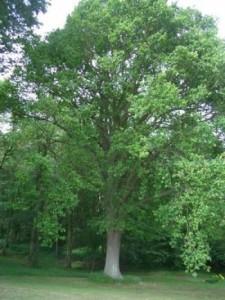 Heritage Oak