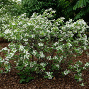 Iroquois Beauty Black Chokeberry