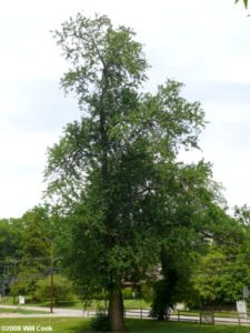 Maclura pomifera tree