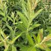 Prairie Willow (Salix humilis)