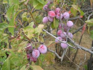 Prunus americana fruit