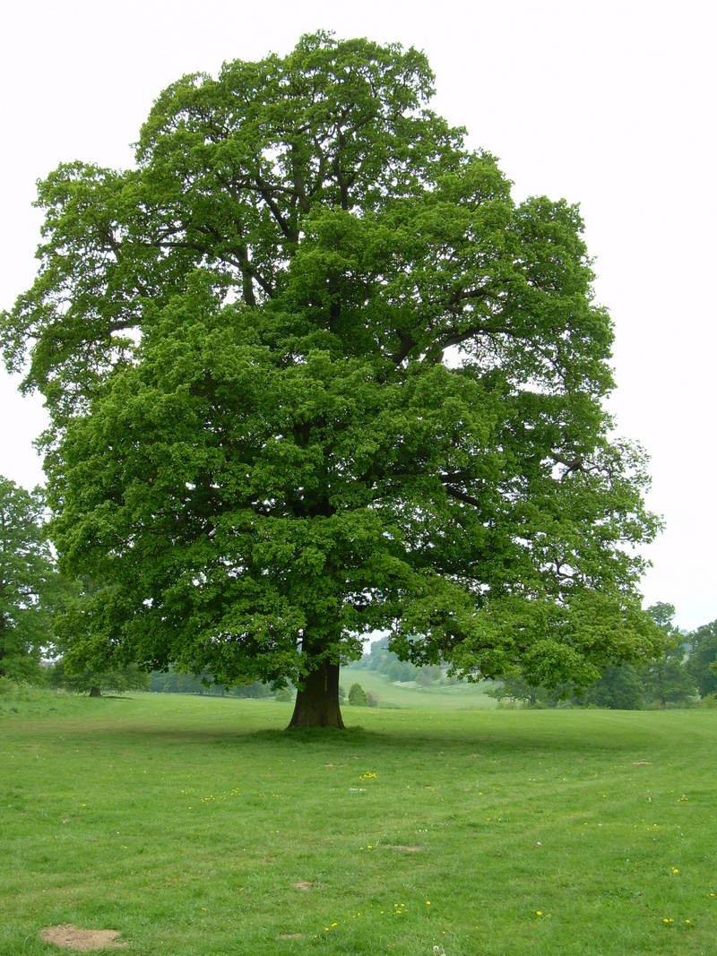 Image result for english oak tree