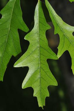 Quercus lyrata leaf