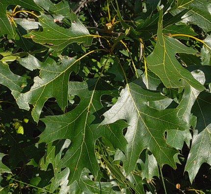 Quercus velutina leaf