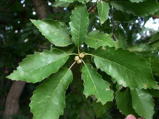 QuercusMuehlenbergii leaf
