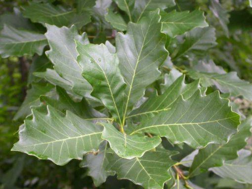 Quercus bicolor leaf
