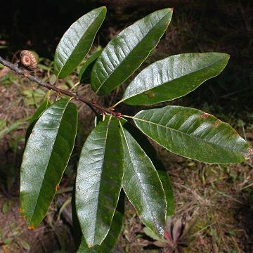 Quercus imbricaria leaf