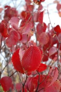 Red Feather Arrowwood Viburnum
