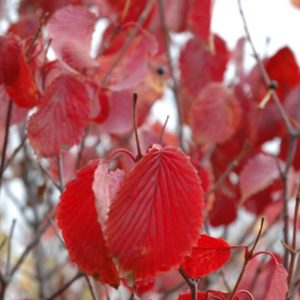 Red Feather Arrowwood Viburnum
