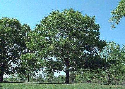 Northern Red Oak Quercus Rubra