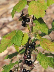 Ribes americanum fruit