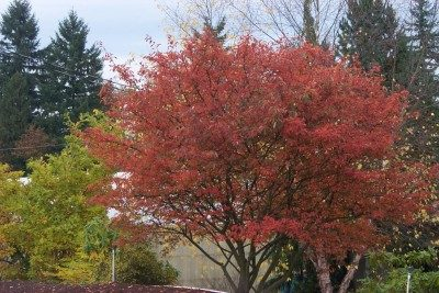 Serviceberry AutumnBrilliance