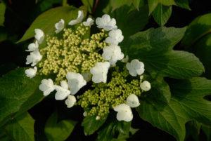 Viburnum trilobum jn select flower
