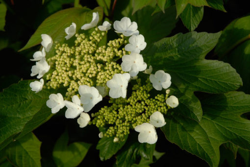 Viburnum trilobum jn select flower