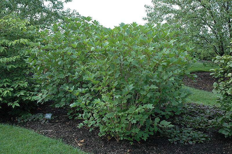 Viburnum trilobum jn select