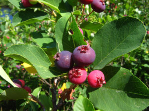 amelanchier canadensis fruit & leaves