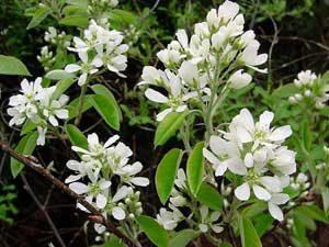 amelanchieralnifolia