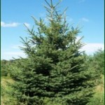 Black Hills Spruce (Picea glauca var. densata)