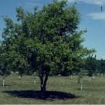 boxelder tree