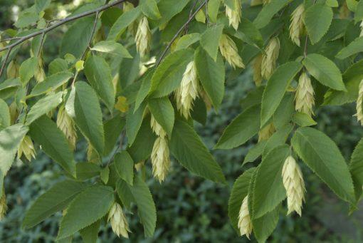 ostrya virginiana leaf