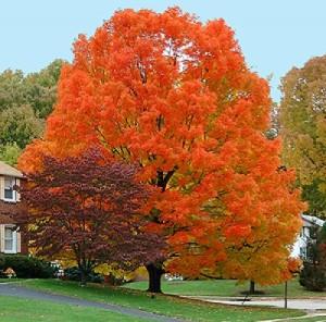sugar maple fall