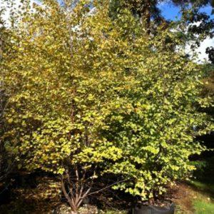 water birch