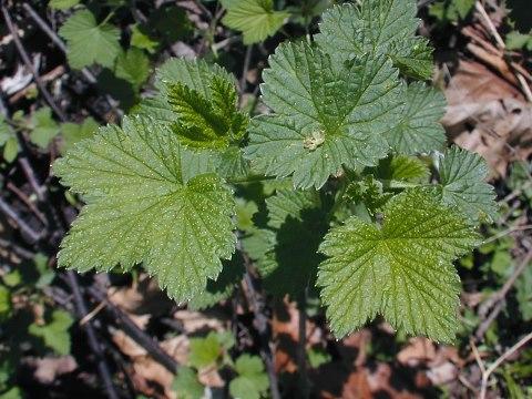 wb currant leaf