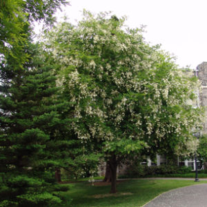 American yellowwood