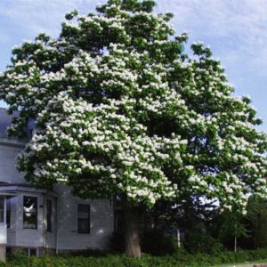 Catalpa speciosa tree