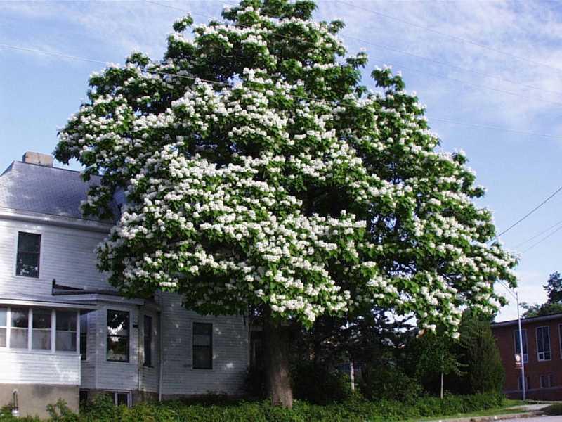 Catalpa speciosa tree