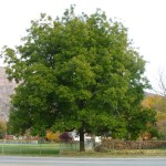 Northern Pecan (Carya illinoinensis)