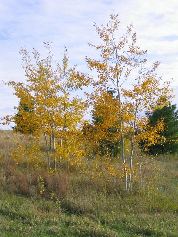 Prairie Gold Aspen