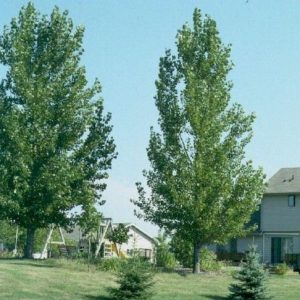Siouxland Cottonwood